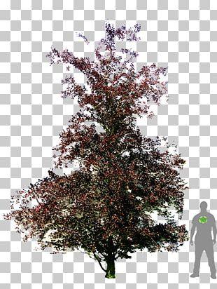 Copper Beech Weeping Beech American Beech Dawyck Botanic Garden Tree PNG