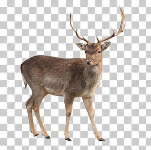White-tailed Deer Reindeer Moose Elk PNG