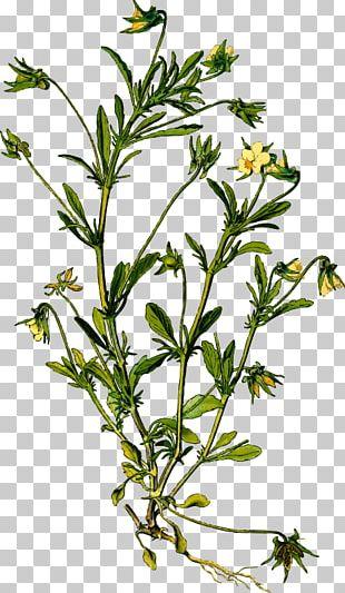 Pansy Botanical Illustration Medicinal Plants Violets PNG