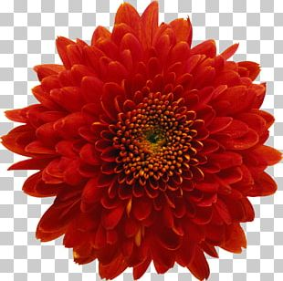 Chrysanthemum Red Flower Stock Photography PNG