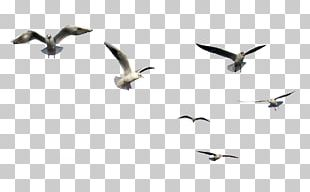Gulls Bird Flight PNG