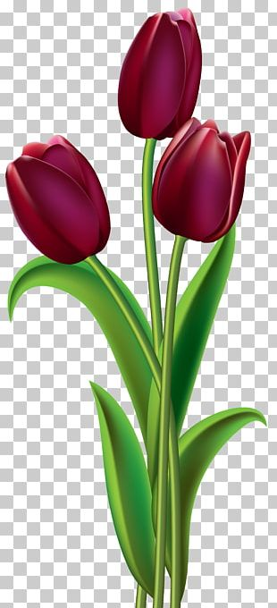 Tulip Red Flower PNG