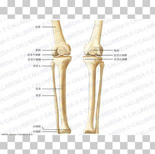 Knee Bone Crus Human Skeleton Anatomy PNG