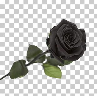 Garden Roses Black Rose Flower PNG