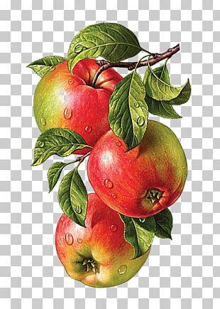 Botanical Illustration Drawing Watercolor Painting PNG
