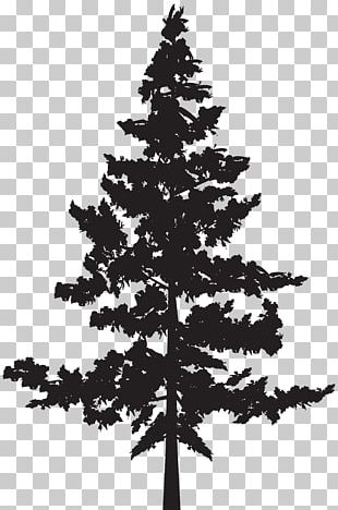 Black Pine Tree Pinus Contorta PNG