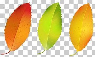 Autumn Leaf Color Birch PNG