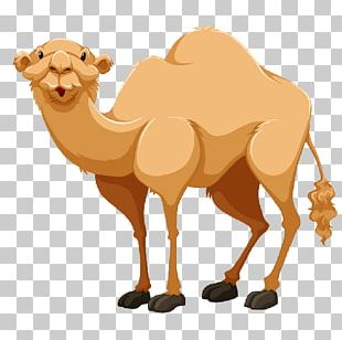 Bactrian Camel Dromedary Portable Network Graphics Open PNG