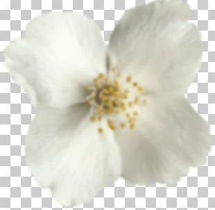 Cherry Blossom ST.AU.150 MIN.V.UNC.NR AD PNG
