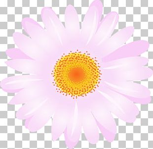 Daisy Family Chrysanthemum Argyranthemum Frutescens Transvaal Daisy Flower PNG