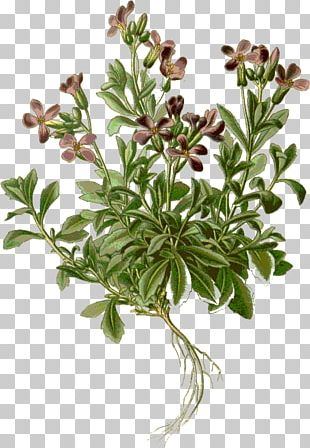 Purple Rock Cress Drawing Stock Photography Alamy PNG
