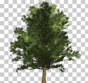 Tree Ginkgo Biloba Oak Schinus Molle Woody Plant PNG