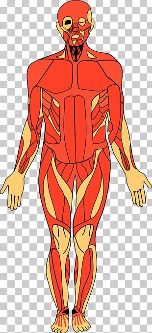 Anatomy Of The Human Body Human Anatomy PNG