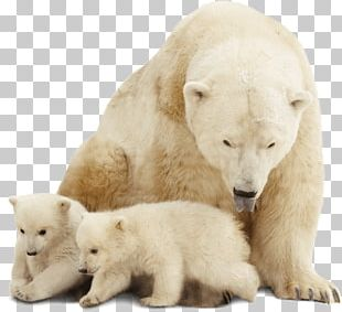 Polar Bear Stock Photography Arctic PNG
