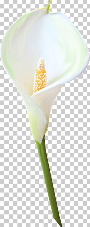 arum-lily madonna lily bog arum flower png