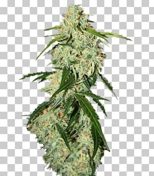 Plant Seed Skunk Feminized Cannabis White Widow PNG