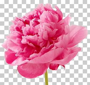 Carnation Cut Flowers Petal Pink PNG