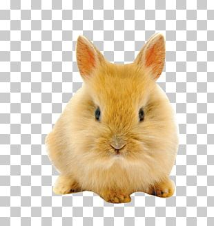 Easter Bunny Netherland Dwarf Rabbit High-definition Television PNG