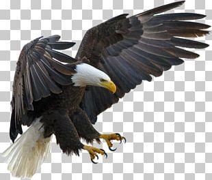 Bald Eagle Bird Tawny Eagle Golden Eagle PNG