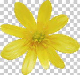 Daisy Family Common Daisy PNG