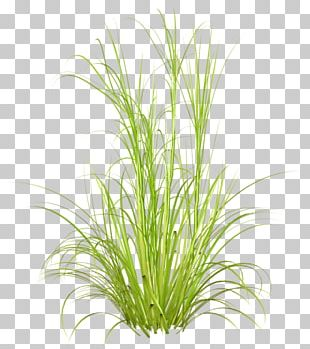 Grasses Desktop Plant Purple Fountain Grass PNG