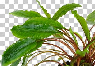 Cryptocoryne Wendtii Aquarium Herb Wahnsinn Aquapflanzen24.de PNG