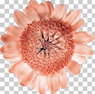 Cut Flowers Common Daisy Gerbera Jamesonii Petal PNG
