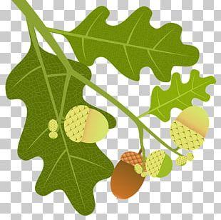 English Oak Tree Acorn Leaf Quercus Macranthera PNG