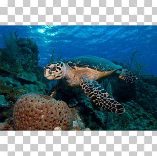 Loggerhead Sea Turtle Coral Reef Emydidae PNG