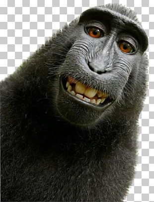 Celebes Crested Macaque Monkey Selfie Primate PNG
