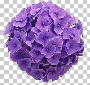 French Hydrangea Flower Purple Color Floral Design PNG