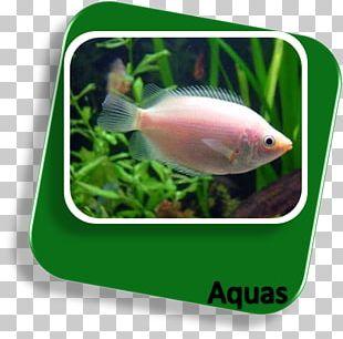 Goldfish Siamese Fighting Fish Kissing Gourami Aquariums PNG