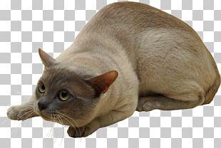 Burmese Cat Tonkinese Cat Malayan Cat Korat Kitten PNG