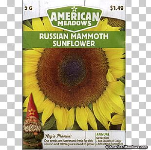 Sunflower Seed Sunflower M Sunflowers PNG