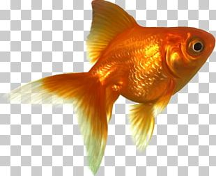 Comet Shubunkin Wakin Tropical Fish PNG