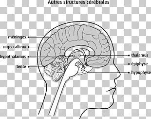 Brain Spinal Cord Aju Human Anatomy PNG