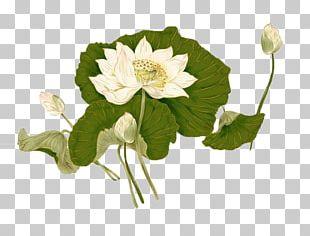 Nelumbo Nucifera Flower Ink Wash Painting PNG
