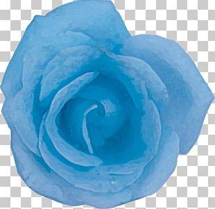 Blue Rose Centifolia Roses Garden Roses Petal PNG