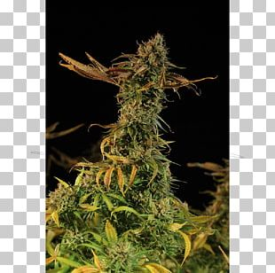 Golden Harvest Cannabis Sativa Plant Seed Bank PNG