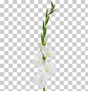 Gladiolus Cut Flowers Plant Stem Floral Design PNG