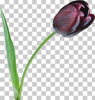 Indira Gandhi Memorial Tulip Garden The Black Tulip PNG