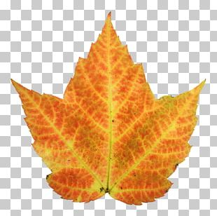 Autumn Leaf Color Maple PNG