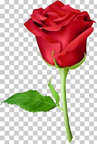Rose Orange Purple PNG