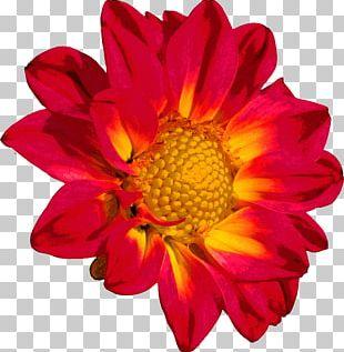 Flower Chrysanthemum Color PNG