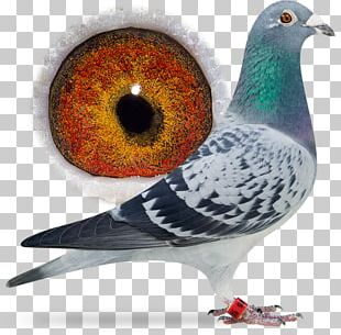 Racing Homer Columbidae Bird Breed Pigeon Racing PNG