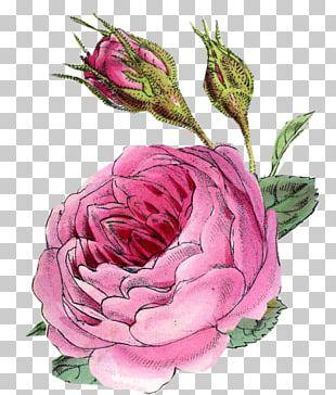 Cut Flowers Floral Design Garden Roses Centifolia Roses PNG