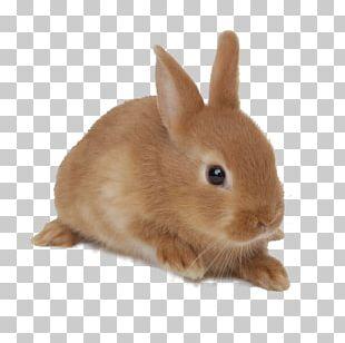 Domestic Rabbit Netherland Dwarf Rabbit Rex Rabbit Holland Lop Jersey Wooly PNG
