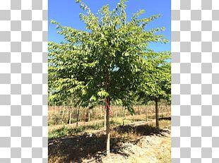 Oak Shade Tree Elm Shrub PNG