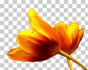 Tulip Petal Plant Stem Flower Close-up PNG
