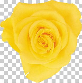 Beach Rose Yellow Flower Petal PNG